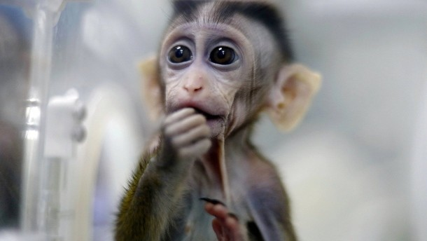 China Clones Gene-edited Disease Monkeys