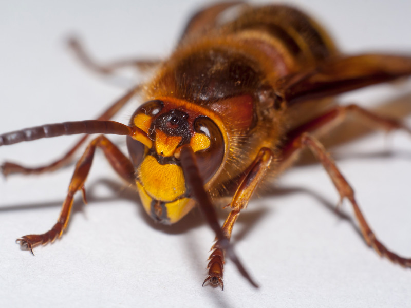 'Murder Hornets' From Asia Spotted in US For First Time