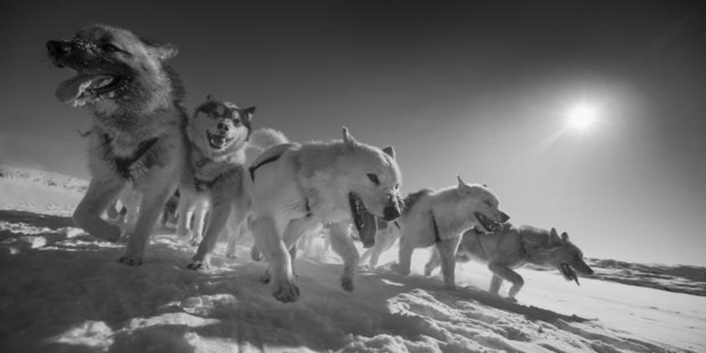 Sled dogs are much older than previously thought